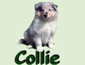 breeding_collie