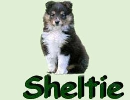 breeding_sheltie